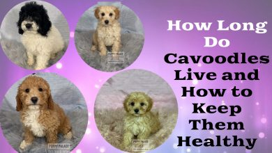 Photo of How Long Do Cavoodles Live and How to Keep Them Healthy